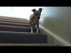 really cute dog walks down and up stairs :)