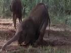Sarhoş Hayvanlar - Sarhoş Eden Bitki - Marula Bitkisi