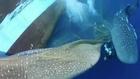 Indonésie: les requins-baleines parfois piégés dans les filets