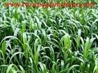 Sorgum sudan otu tohumu fiyatı,sorgum bitkisi,sorgum melezi
